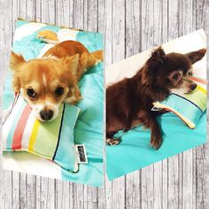 These cute furry friends approved our Temper Rainbow mini pillows! 😊😍 Thank you for sharing! Outdoor Fabric, Custom Pillows, Corgi, Tropical, Rainbow, Photo And Video, Friends, Mini, Cute