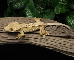 Female creamsicle Crested Gecko for sale