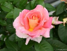 Rose 'Evelyne Dheliat ®' kaufen » Edelrosen » Moderne Rosen » Gartenrosen (wurzelnackte Rosen) | Agel Rosen Onlineshop