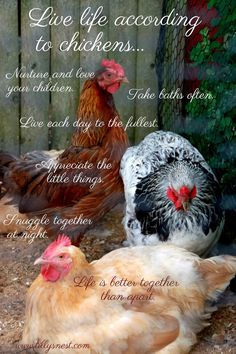 Tilly's Nest: Life According to Chickens...