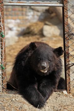 Chowti, a blind female asiatic bear, who was used in the bear baiting trade. Rescued by the WSPA. World Animal Protection, Wild Creatures, Animal Welfare, Black Bear, Some Pictures, New Life, Animal Rescue, Wildlife, Blind