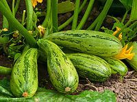 Pěstování cuket: výsev a výsadba, hnojení a ochrana