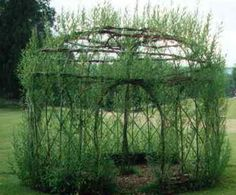 Willow gazebo -- thisis so cool.  Its growing!