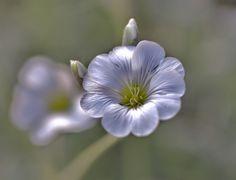valkoinen kukka, kesäkukka