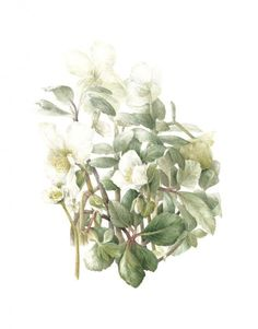 Elaine Searle Common Christmas Rose Helleborus niger Watercolor Completed: January, 2013