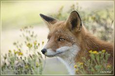 Flower Fox #PatrickBorgenMD