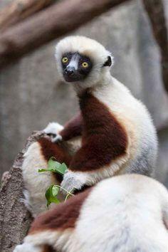 Coquerel's sifaka (Propithecus coquereli), a medium sized lemur