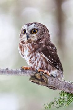 Tree owl. ...........click here to find out more googydog.com