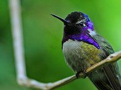 Colibri, Bird, Tête Violette