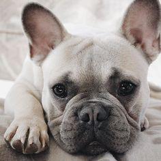 @thewickedmarinou instagram french bulldog puppy bouledogue français chiot bébé beauté