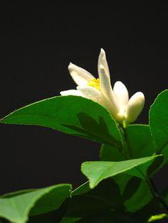 Flower from my lemon tree, from slowlovelife.com