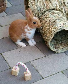 My cute little rabbit, netherland dwarf bunny
