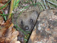 Link Gardens for Hedgehogs - Encouraging hedgehogs in your garden