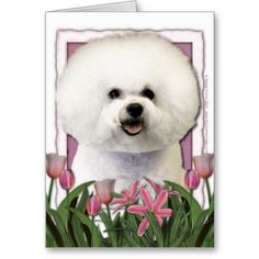 Mothers Day - Pink Tulips - Bichon Frise Cards $3.35