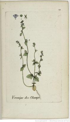 VERONICA - Veronica agrestis. La véronique des champs / La petite véronique à larges feuilles