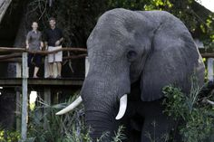 A visitor to Jao Camp Wilderness, Lush, Safari, Elephant, Africa, Camping, In This Moment, Explore, City