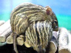 動物図鑑、シマクサマウス 1