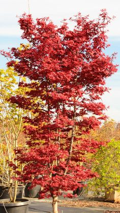 'Twombly's Red Sentinel' Japanese maple - Perfect for a smaller garden, this outstanding purple-red variety forms a column that gets about 10' tall but only 3' wide in 10 years. Found as a witches broom, it develops intense color that lasts through the growing season and then flashes into spectacular red for fall. Although it has proven somewhat difficult to propagate, the narrow selection grows nicely. Zone 6. Sun/part shade.