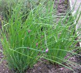 Chives nutrition facts and health benefits