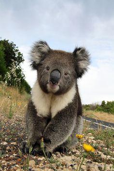 Koala by Steve Chapple Animals And Pets, Baby Animals, Funny Animals, Cute Animals, Baby Koala, Koala Bears, Koala Marsupial, The Wombats, Australia Animals