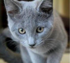 Misha is an adoptable Russian Blue Cat in Minneapolis, MN.   10 week femal