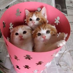 I like this photo: 孫福だんご3兄妹(トト福、花丸福、福男)  The cats in a garbage can.(Totofuku,Hanamarufuku,Fukuo)