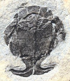 A fossilized male Microbrachius fish that lived some 385 million years ago and was equipped with L-shaped genital claspers.<br />