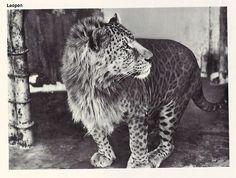 leopon ... leopard + lion. The new liger