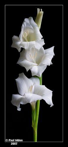 My most favorite flower - gladiolus