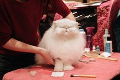 31 Epically Adorible Pictures From The Norwegian Forest Cat Show