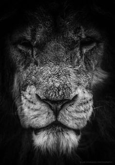 charging lion leonis pinterest sauvages felin sauvage et animal