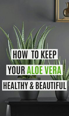 There are many beautiful plants to grow at home. The aloe vera plant care is effortless. Moreover, the Aloe plant can be grown as an indoor or outdoor plant. Here are a few things to keep in mind for the care of the aloe vera plant. Aloe Vera Plant Indoor, Aloe Plant Care, Snake Plant Care, Succulents Garden, Garden Plants, Planting Flowers, Propagating Succulents, Plant Cuttings, Indoor Succulent Garden