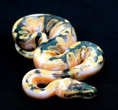 Click the image to see more. Pastel Enchi Pinstripe Pied possible Yellow Bel… ?Click the image to see more. Pastel Enchi Pinstripe Pied possible Yellow Belly, gorgeous snake. Reptiles And Amphibians, Les Reptiles, Cute Reptiles, Pretty Snakes, Beautiful Snakes, Animals Beautiful, Cute Animals, Anaconda, Snake Breeds