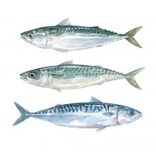 Watercolor paintings and illustration of fish, shellfish, shrimp and other seafood, painted by david scheirer. Watercolor Stickers, Watercolor Fish, Watercolor Animals, Watercolor Illustration, Watercolor Paintings, Watercolours, Fish Print, Animal Sketches, Food Illustrations