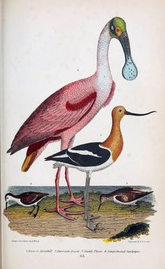 The natural history of the birds of the United States