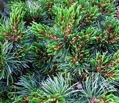 Kigi Nursery - Pinus parviflora ' Catherine Elizabeth ' Dwarf Japanese White Pine, Full sun (http://www.kiginursery.com/dwarf-miniatures/pinus-parviflora-catherine-elizabeth-dwarf-japanese-white-pine/)