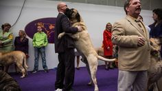 The Westminster Dog Show reviews its most massive and terrifying group tonight, the Working Group.