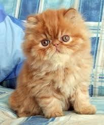 Image result for persian kittens