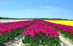 Champs de tulipes à La Torche Plomeur | Finistère Bretagne