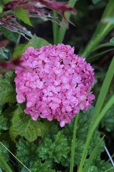 Fishtail Cottage: Fishtail Cottage Garden 6/22/15