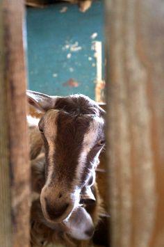 Animation de l'Office du Tourisme : Visite de la Chèvrerie à Grattavache L Office, Goats, Cow, Animation, Animals, Snowshoe, Ice Rink, Cross Country Skiing, Mountaineering