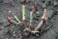 Cum se tund corect trandafirii, ca sa creasca lastari in mod regulat My Flower, Flowers, Grape Vines, Diy And Crafts, Exterior, Spring, Outdoor, Gardening, Pixi
