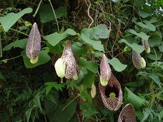 Já ouviu falar em cipó de mil homens? Descubra os benefícios dessa planta de nome curioso, conheça todos os seus benefícios e aprenda como preparar seu chá.