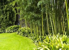 Bamboo is an invasive landscaping plant but if you are smart about choosing the variety or you plant it in containers, it can be a beautiful addition to the backyard