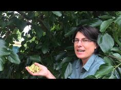 Mulberry - White Shahtoot - White Shahtoot Mulberry - YouTube