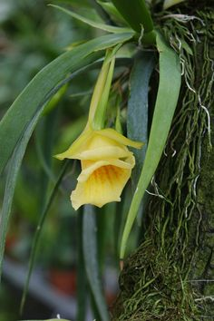 Plectrophora cultrifolia (2)   Flickr - Photo Sharing!