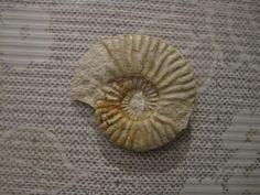 Eudmetoceras (Eudmetoceras) subbeticum (M) uploaded in Ammonites of Southern Spain and world: [color=rgb(20,24,35)][font=lucida grande][size=3][i]Eud... - 39 mm Bajocien Grenade Espagne.
