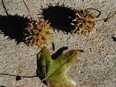 Sweetgum seeds, Photo by David Byres