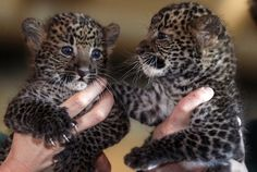 Seven weeks old Java male leopard Arjuna, left, and female leopard Sri Kandi, are pictured during their official presentation at the Tierpark Zoo in Berlin, Germany, Monday, March 5, 2012.