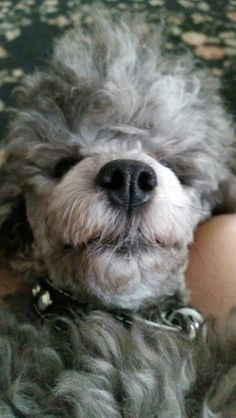 Kissable poodle nose Animals And Pets, Cute Animals, Silver Poodle, Dog Haircuts, Tea Cup Poodle, Pet Pictures, Toy Poodles, Dog Nose, Standard Poodles